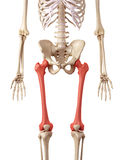 The femur bone Stock Photos