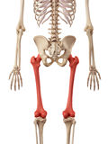 The femur bone Stock Photo
