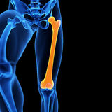 The femur bone Stock Photography