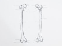 Femur bone pencil drawing. Detail of femur bone pencil drawing on white paper royalty free stock image