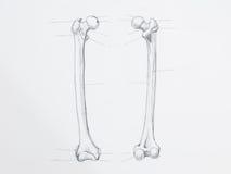 Femur bone pencil drawing royalty free stock image