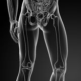 The femur Stock Photos