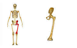 Femur_Left Royalty Free Stock Photos