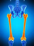 The femur Stock Photography