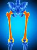 The femur Stock Images