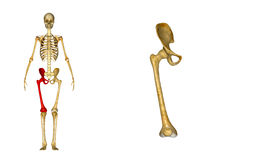 Femur_Right Royalty Free Stock Photography