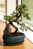 Fenêtre avant de bonsaïs Photos stock