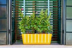 Fenêtre avec le volet vert et le pot de fleur jaune L'Italie, Venise, photo libre de droits