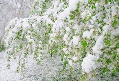 Fenómeno natural anormal Nieve, helada, helada en última primavera durante el florecimiento de árboles La rama de una O.N.U flore Fotos de archivo libres de regalías