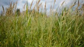 Fen grasses stock footage