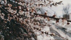 Fenômeno raro Neve na mola Ramos da árvore de maçã de florescência em que a neve se encontra Neve em flores clima video estoque