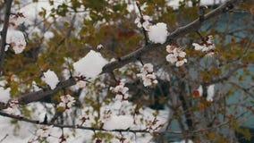 Fenômeno raro Neve na mola Ramos da árvore de maçã de florescência em que a neve se encontra Neve em flores clima vídeos de arquivo