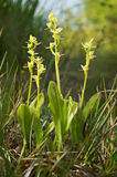 Fen Orchid Royalty Free Stock Photo