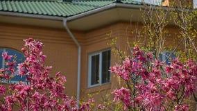 Fen?tre rose de fleur d'arbre de magnolia personne banque de vidéos