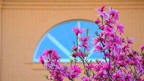 Fen?tre rose de fleur d'arbre de magnolia personne clips vidéos