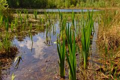 Fen with water plants in Kalmthout heath nature reserve, Belgium stock images