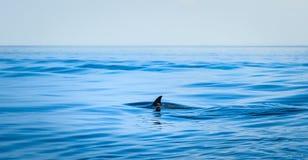 Fena av en haj arkivfoto