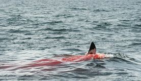 Fena av en stor vit haj (Carcharodoncarcharias) i blodet arkivfoton