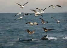 Fena av en stor vit haj och Seagulls royaltyfri bild
