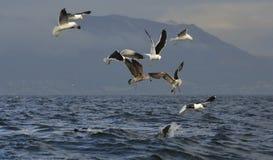 Fena av en stor vit haj och Seagulls arkivbilder