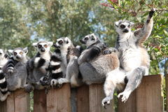 On The Fence. Ring tailed lemurs huddle together on a fence stock photo