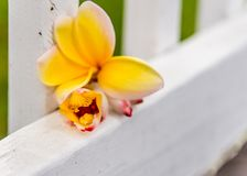 Yellow Frangipani and Ginger Tree Blossoms on white picket fence stock image