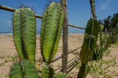 A fence of bamboo sticks and large green cacti. Eco-friendly settlement on the shores of the warm sea Stock Images