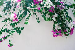 Fence of fresh flowers in the street. Fence of beautiful fresh white and pink flowers with green leaves in summer garden Stock Photography