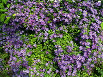 Fence braided by Clematis. Group violet Clematis flowers and leafs braiding garden fence Stock Photography