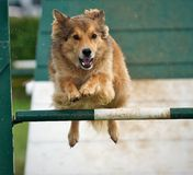 Fence clear. Dog jumping clear of the fence Royalty Free Stock Photos
