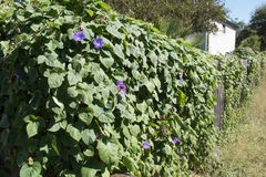 Fence covered in morning glory vines royalty free stock photo