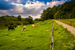 Fence and cows in a field at Moses Cone Park on the Blue Ridge P Stock Photo