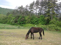 Fence de casei full-blooded horse while graze the grass Royalty Free Stock Photo