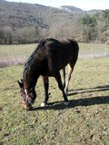 Fence de casei full-blooded horse while graze the grass Royalty Free Stock Image