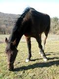 Fence de casei full-blooded horse while graze the grass Stock Photos