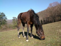 Fence de casei full-blooded horse while graze the grass Stock Photo