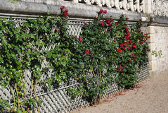 Fence entwined with pink stems with buds Royalty Free Stock Photography