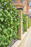 Fence entwined with wild vines Stock Image