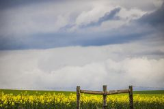 Fence in front of canola flower field on a farm in Caledon, Western Cape, South Africa. Exploring the areas around the Western Cape, South Africa royalty free stock photography