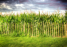 Fence in front of corn field Royalty Free Stock Photos