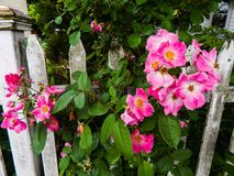 A Fence Full Of Blooms. Beautiful pink summer blooms growing over a white fence Royalty Free Stock Images