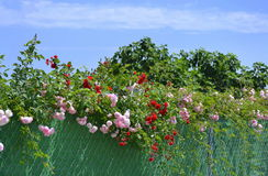 Fence full of roses in spring Royalty Free Stock Photos