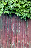 Fence with grape vine. Red stained wooden fence with grape vine Royalty Free Stock Images