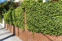 Ivy fence Stock Image