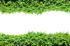 Fence green leaves, plant frame border, vines wall garden, tree isolated. Fence green leaves, fresh plant frame border, vines wall garden, tree isolated royalty free stock photography
