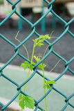 Fence with green vine Stock Photos