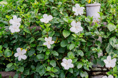Fence Hibiscus tree with white hibiscus flowers blooming. Stock Photo
