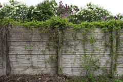 Fence with ivy against Royalty Free Stock Photography
