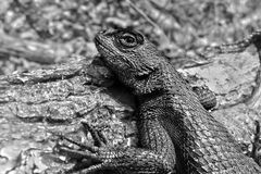 Fence Lizard. An eastern fence lizard, also known as a gray lizard, or prairie lizard royalty free stock photography