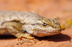 Fence Lizard Head Royalty Free Stock Image